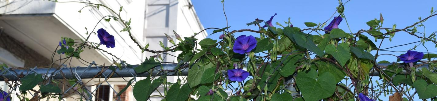 morning glories in hunting park