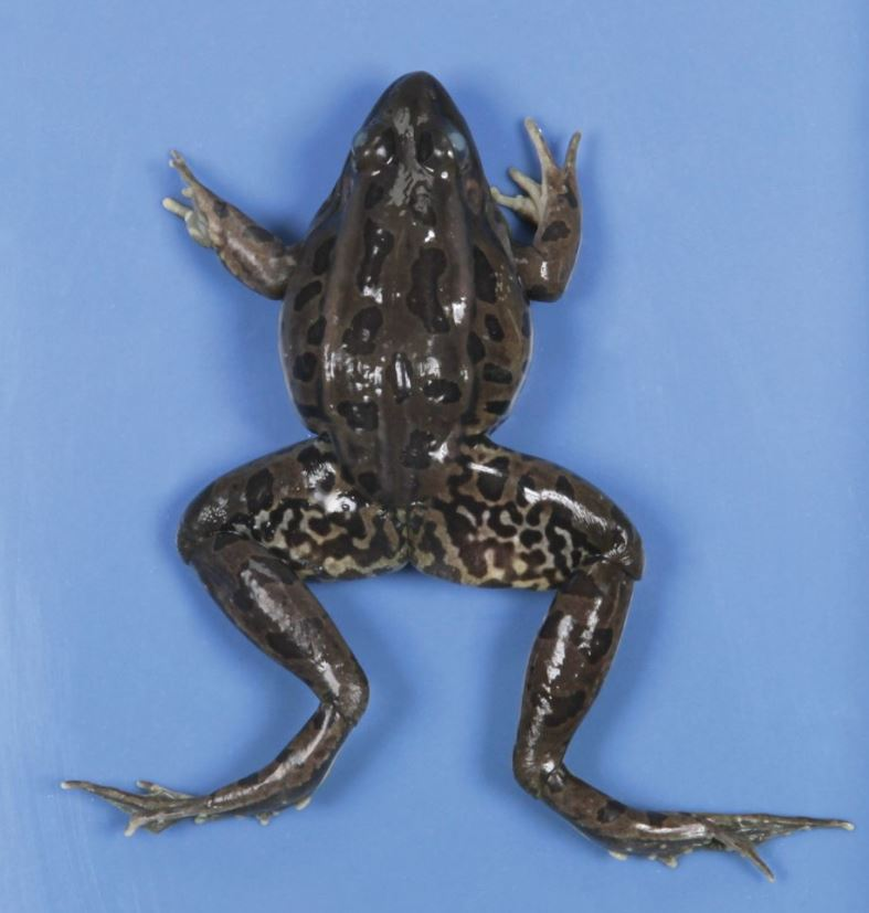 frogs for dissection
