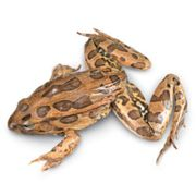 frog for dissection