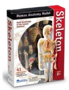 model of skeleton